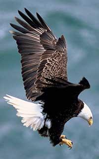 Bald_eagle_2