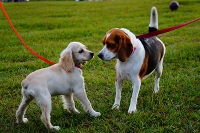Two dogs meeting on leash.